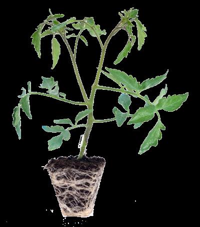 tecnobioplant-injerto-horticola